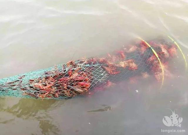 养殖小龙虾遇怪事,地笼捕捞死亡率过高,这都是闷死的吗?
