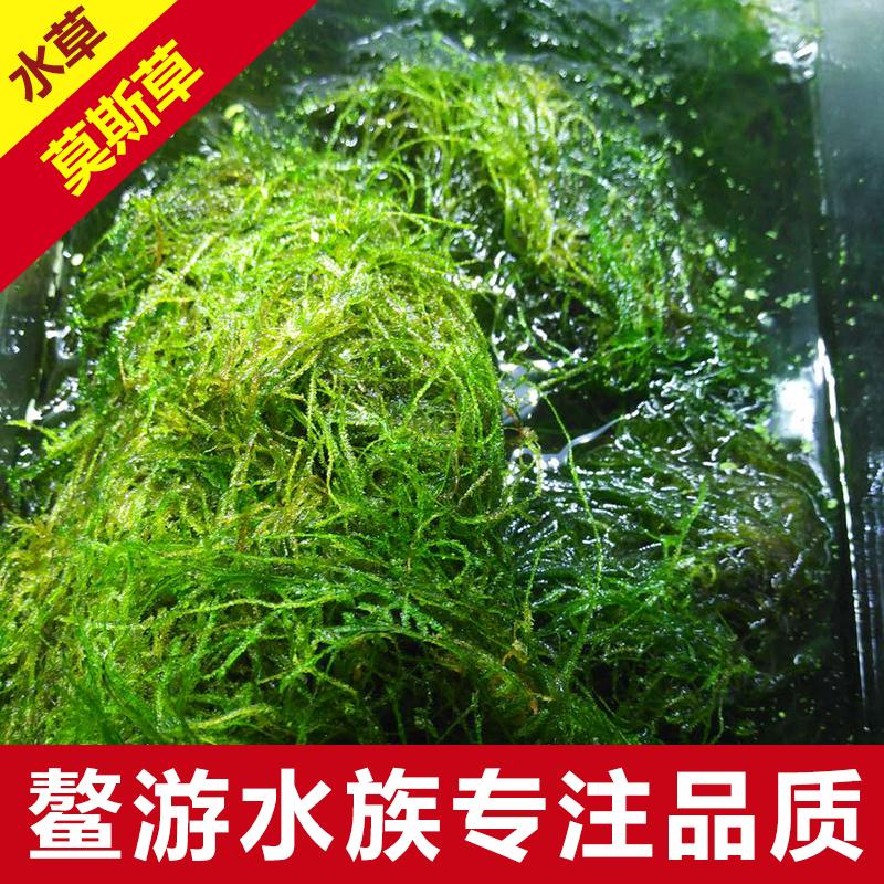 养虾水草,莫斯草造景水草,鳌虾吃水草