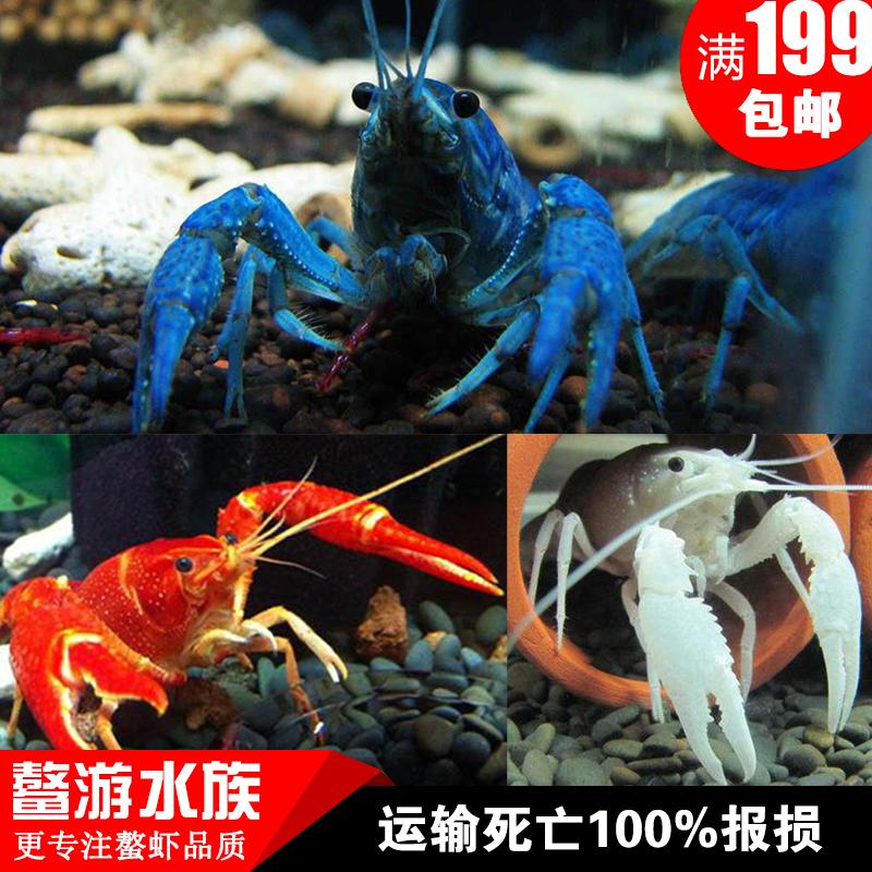 佛罗里达蓝魔虾,观赏橘鳌白鳌蓝鳌入门级新手淡水鳌虾多少钱