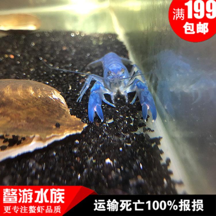 澳洲纯血人工天空蓝魔虾1-10厘米观赏蓝色小龙虾多少钱一个