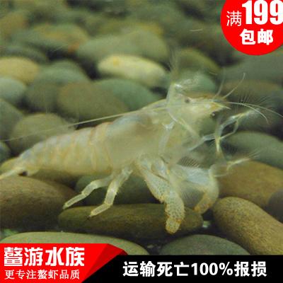 非洲巨型网球虾,淡水鱼缸清工具虾,可混养的鳌虾多少钱