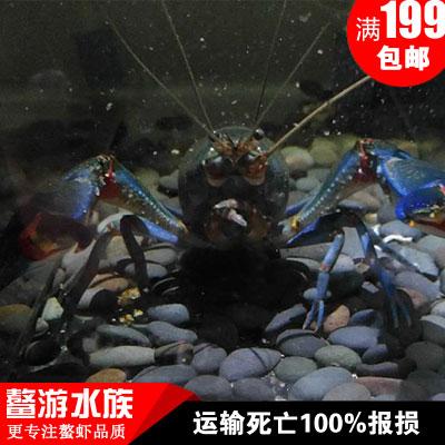 原生天空蓝魔虾,破坏者鳌虾观赏鱼缸小龙虾多少钱