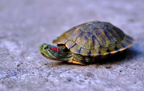 家庭养龟与风水有关系么 龟能起到化煞的作用