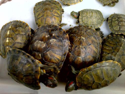 家里养什么乌龟风水好 乌龟与风水的关系