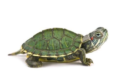 养什么乌龟风水好 养中华草龟可以说风水好