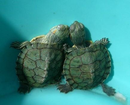 家里养乌龟风水好吗 风水上称为化煞龟