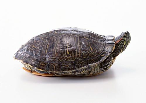 红腿陆龟吃什么,红腿陆龟形态特征