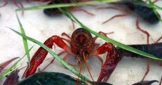 为什么我家的龙虾这么小,而且越来越小