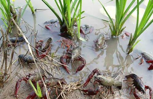 开个小龙虾养殖场至少需要多少成本?