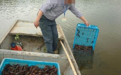养殖小龙虾一亩可以收多少斤?