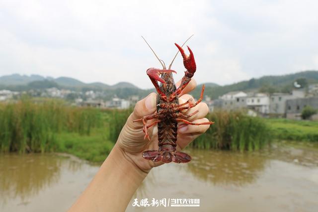 兴仁:弥勒屯村养殖小龙虾致富有奔头