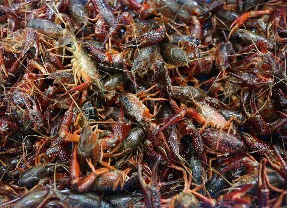 小龙虾价格30元/斤,今年小龙虾养殖户能赚钱吗?