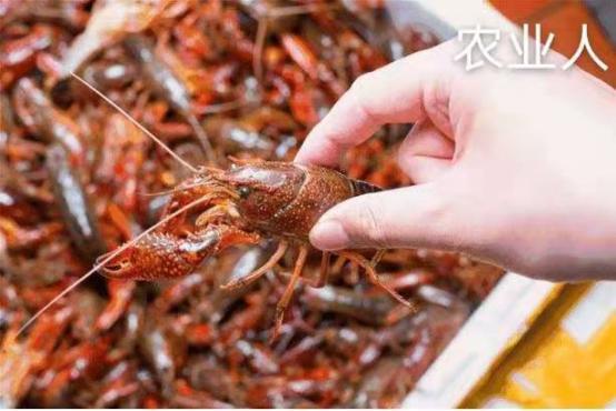 龙虾养殖户注意了,现在早期龙虾苗紧缺,请抓紧出手