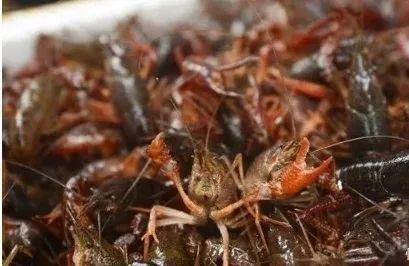 小龙虾生长的四个阶段,每个都非常重要