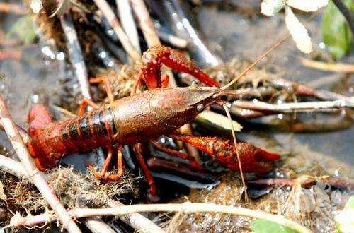 养殖小龙虾的成本究竟有多高?