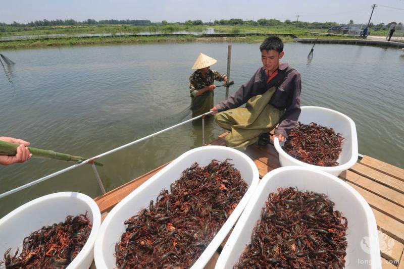 小龙虾养殖有风险?龙虾养殖难在哪里?
