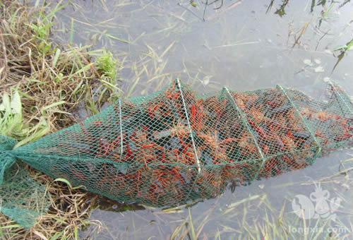稻虾产业开辟生态农业提质增效新路径