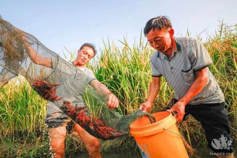 稻虾养殖大丰收 种田也能奔小康