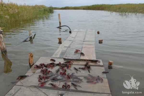 小龙虾的养殖成本大概一亩多少钱?淡水小龙虾养殖技术介绍