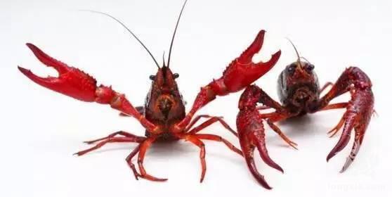小龙虾怎样才能越做越大