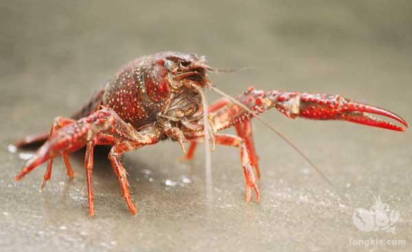 小龙虾前景如何?未来2-3年小龙虾市场还会继续增长吗?