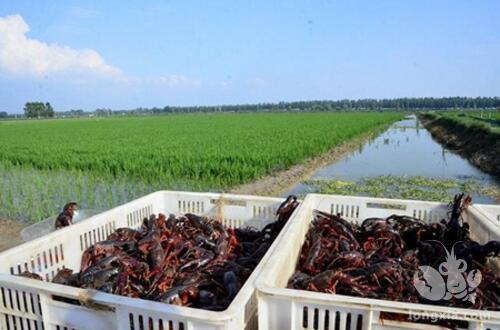 天粮小龙虾始终热卖,提供多种加盟模式供创业者选择