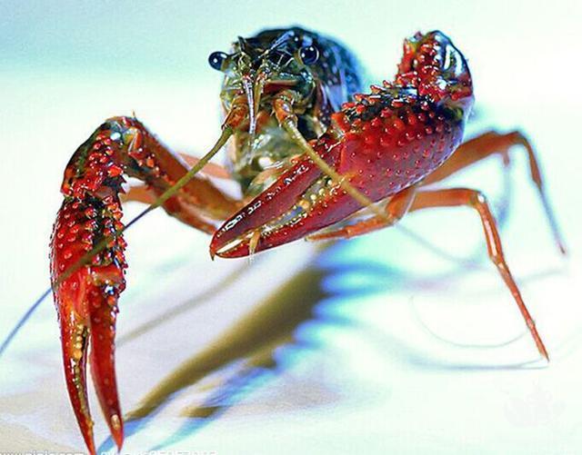 """""""中国小龙虾种源保护第一县""""在哪里?"""