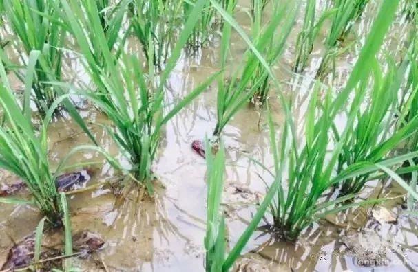 上虞农民稻田里养小龙虾 平均每亩年纯收入超五千元
