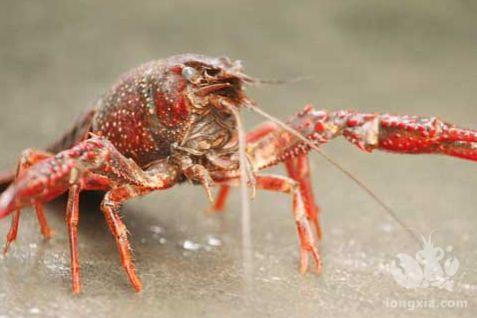 小龙虾养殖究竟与我是啥关系?