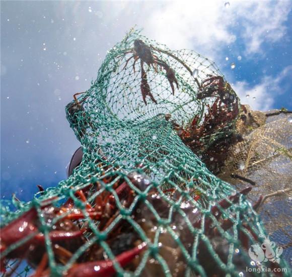 小龙虾市场严峻,行业改革迫不及待,被淘汰的会是哪些人?