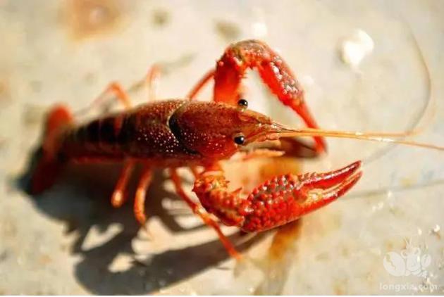 上半年水产品电商交易3.98亿单 小龙虾胜过大闸蟹