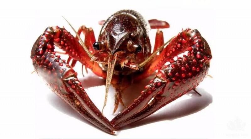 """和大家聊一聊,小龙虾的来历起源 中国人与小龙虾的""""爱恨情仇"""""""