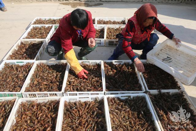 好消息:明年早春小龙虾市场价格会比较高。坏消息:但赚的人不多