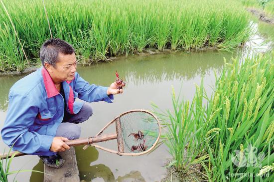 广西贵港市黄练镇:稻虾共作 一田多收