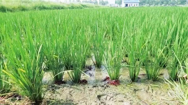四川省泸州市合江县神臂城镇:奔赴田间地头 考察稻虾产业