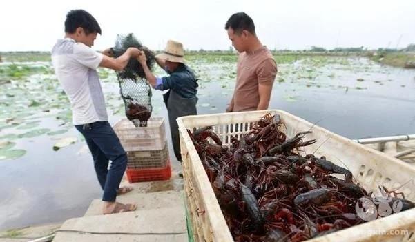 养殖小龙虾八年,实现逆转成功路