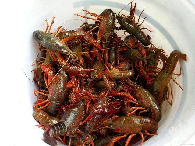 刚入行养小龙虾的朋友们看过来,这边说说对小龙虾行业及其自身技术的误解