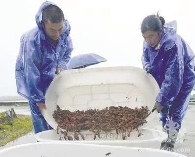 上海小龙虾开吃了 上市较往年提早两周