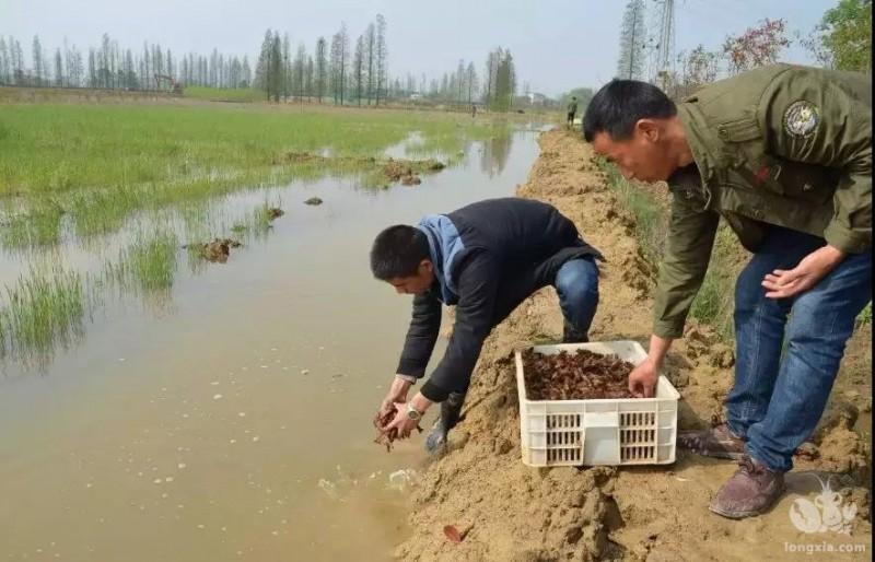 小龙虾养殖需要多少投资?