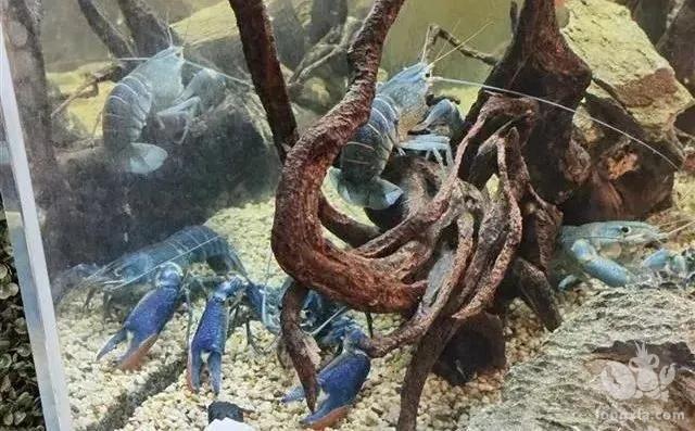 每斤卖100元的虾落户潜江,小龙虾收获后就能接着养无缝对接……
