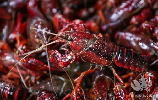 2021年小龙虾什么时候上市?三月份就有了吗?附各地上市时间!