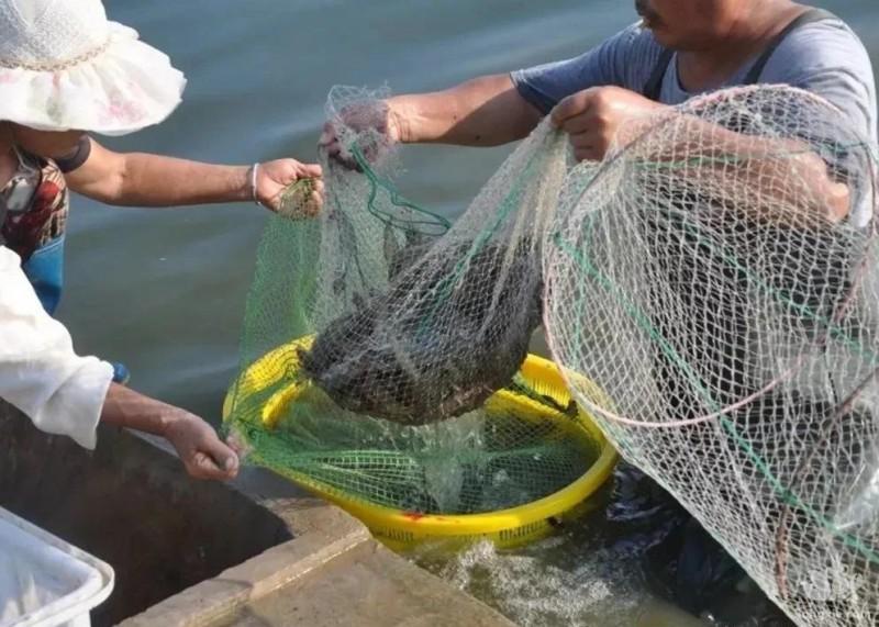 新型小龙虾?东南亚泛滥成灾,国内70元1斤,目前很多人养殖