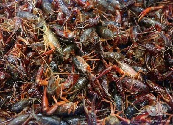 河虾为何频涨价?记者实探河虾养殖地德清