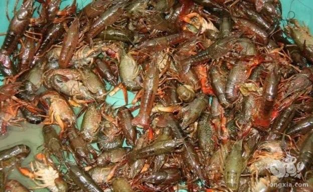5月下旬小龙虾养殖注意事项,梅雨季节龙虾养殖户要做好四方面工作