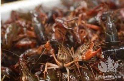 农村养殖小龙虾,技术员告诉你养殖高产的好方法,赶快收藏!