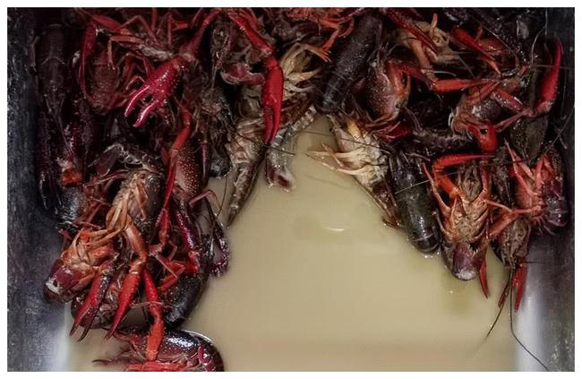 引起小龙虾底板脏的原因是什么?