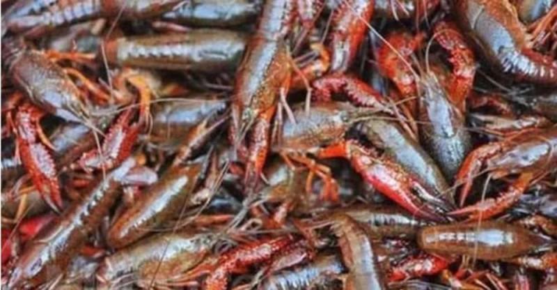 小龙虾养殖成本具体包括哪些?最详细的计算养虾户别错过了!