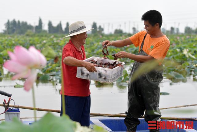 产销两旺,长沙小龙虾养殖面积达13万亩
