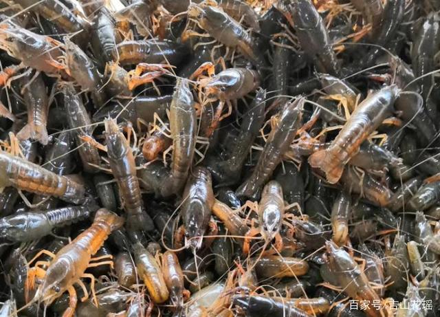 安徽省芜湖荷莲与小龙虾共生高效养殖技术