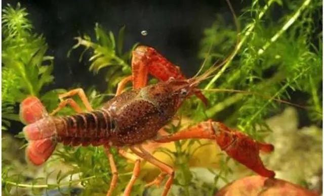 养虾先养草,小心小龙虾池塘水草的这个致命问题!